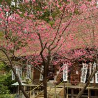 3月のカバー画像「杉本寺の寒緋桜」