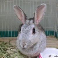 ウサギ専門診療科71 膀胱結石と子宮疾患と臼歯過長の併発