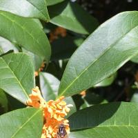 キンモクセイのハチミツ