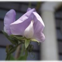 薄紫のスイトピー