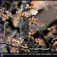 全国トップをきって東京で桜開花
