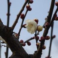 ロウバイ、白梅も咲き始めました