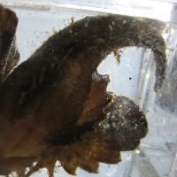 海水NO.98『オニオコゼ』 顔は鬼ほど怖くない