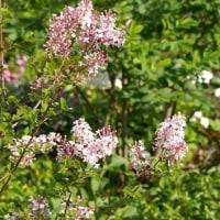 ライラックとスズランの香る季節