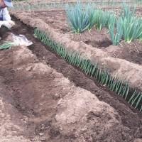 一本ネギの植え付けの巻