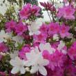 古民家に咲いた5月の可憐な山野草や野花です!