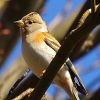冬鳥アトリはおっとり可愛い