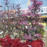 熊本市植木市 花図鑑43