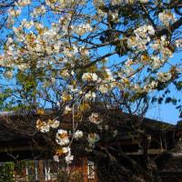 『大磯の桜』 旧吉田茂邸