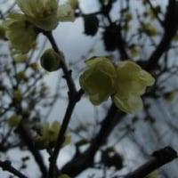 ひっそりと、蝋梅が咲く ^^