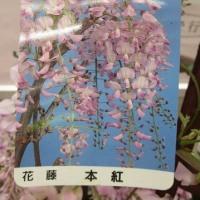 JR構内のあしかがフラワーパークからの贈り物と今日の天皇賞春は!!