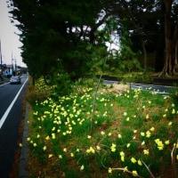 『花便り』 水仙ロード