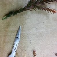 2/23 杉の剪定&挿し木 他