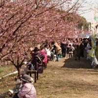 河津桜見物!