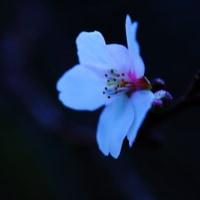 金沢の夜明け 赤い満月・四季咲きの桜