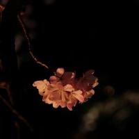 六義園夜桜ライトアップ