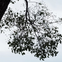 素晴らしい青空!!・・曇り空のクスノキと小さな昆虫