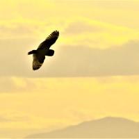 今日の野鳥  コミミズク・チュウヒ・モズ     写真展のご案内