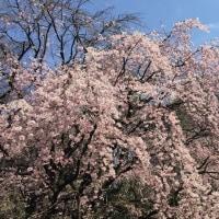 桜をみると、、、。