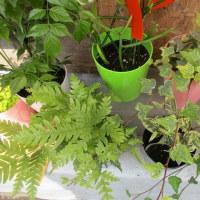 観葉植物の小鉢入荷