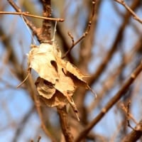 川原のクワの枝にクワゴの繭
