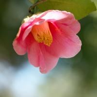 椿の花の咲く頃(Ⅳ)