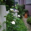 バラの開花(Blog573)