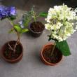 紫陽花(アジサイ)の挿し木。