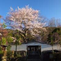 17年4/23~興禅寺~時雨桜~仔馬第二号誕生