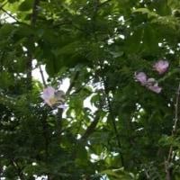 ラブリーブルー、フレンチラベンダー、サンショウバラ、台木のノイバラ