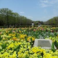 「桜」/昭和記念公園(2017春)