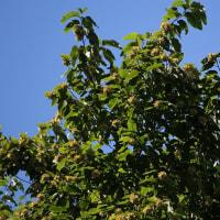 キジュ(カンレンボク)果実
