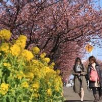 桜並木の散歩道@三浦海岸
