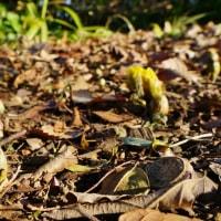 今年もフクジュソウが咲きました!(赤塚植物園)