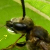 蜂が水を飲む