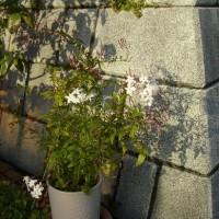 ジャスミン:庭の花鉢