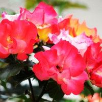 初夏を彩る花‥⑤ 【ひで某】