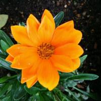 <梅雨に咲く花>見えなき明日に生きて。