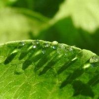 ロメインレタスの葉についた露
