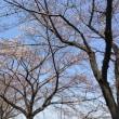 さいたま市の桜は来週頃見頃でしょう。