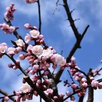 淡いピンクの花・杏が咲き始めていました