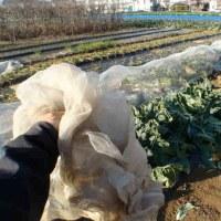 """カリフラワー""""ロマネスコ""""を初収穫しました"""