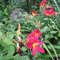 「冷凍」「加熱」で食中毒防止 魚介類によるアニサキス症/百合に似たインドハマユウ (印度浜木綿)とヘメロカリスの花。