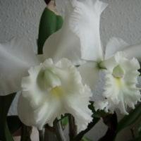 今年も蘭の花が咲きました カトレア