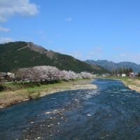 高山本線 桜前線