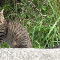 西畑海岸の外猫