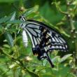 アゲハ蝶の休息は私の癒しに!