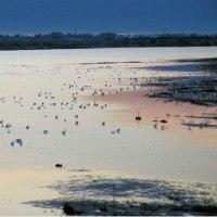新潟県新潟市内阿賀野に集合したコハクチョウの大群 早朝の景観