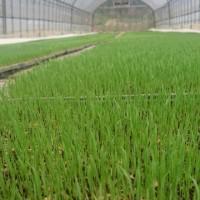 稲の苗も順調に‼