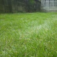 芝刈り 今年はじめてで今年さいご 高麗芝
